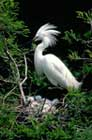 Egret with babies