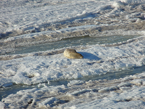 Seal rests on the snow.