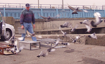 A man releases his pigeons from their cages to begin the race home.