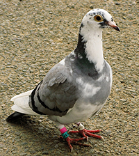 Racing pigeon standing on ground.