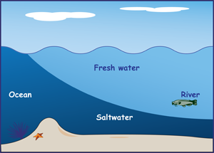 Cross-section drawing of ocean at mouth 9of a river, with heavier saltwater slipping in under the fresh water.